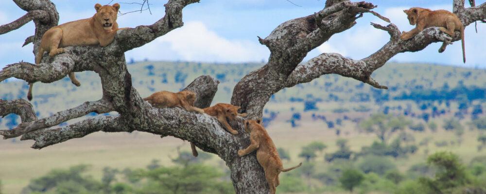 Tree climbing Lions safari